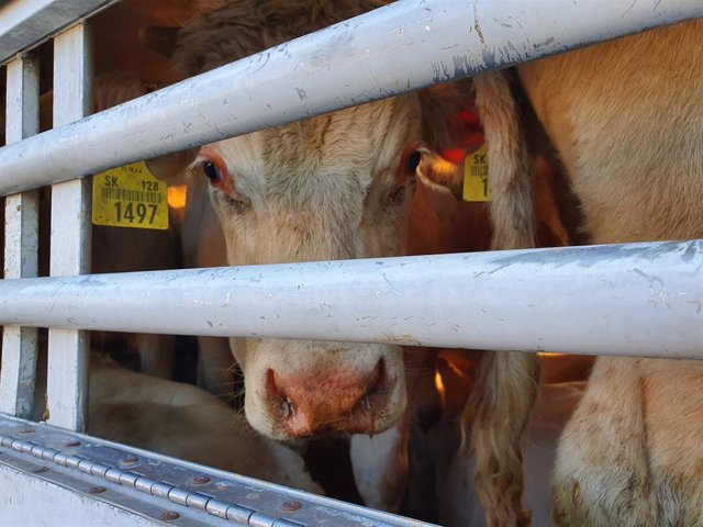 Archivo - The bull calf Lukas on the transport from Slovakia to Turkey in September 2020. Lukas is representative for millions of animals that are transported daily through the EU and beyond its borders.