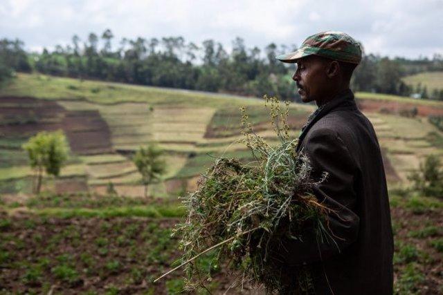 Los conflictos violentos están detrás del aumento del hambre en el África subsahariana. Aquí, un granjero lleva forraje para su mula en el suroeste de Etiopía. Más al norte del país, el hambre se extendió este año ante la guerra civil