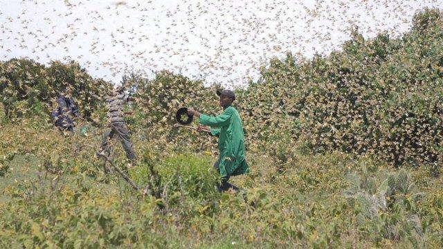 Archivo - Plaga de langostas en Kenia