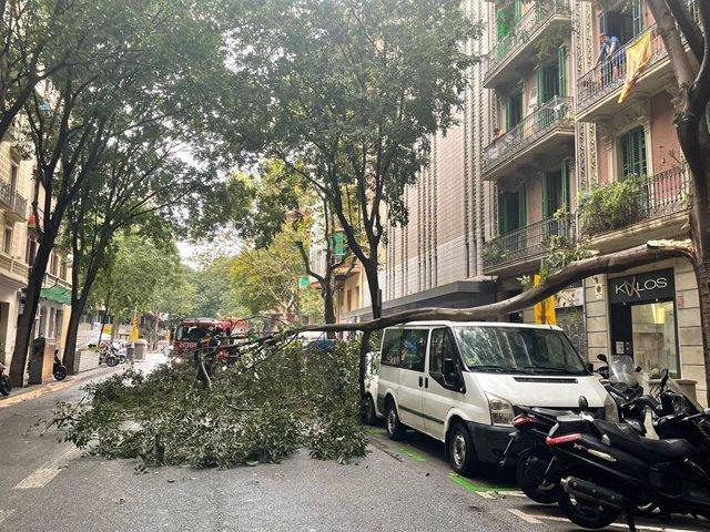 La pluja i el vent tomben un arbre a l'Eixample de Barcelona