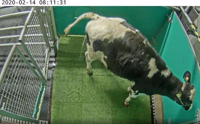 Escena de una vaca orinando en la letrina para reducir emisiones