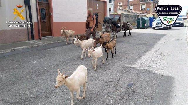 Identificado un peregrino que realizaba el Camino de Santiago con 10 animales carentes de documentación