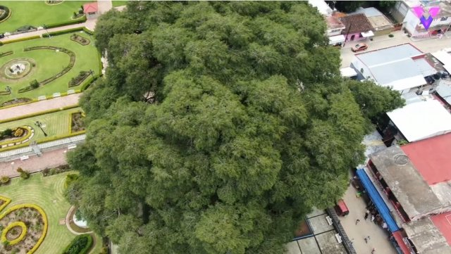 Este es el árbol con el tronco más grueso del mundo y está en México