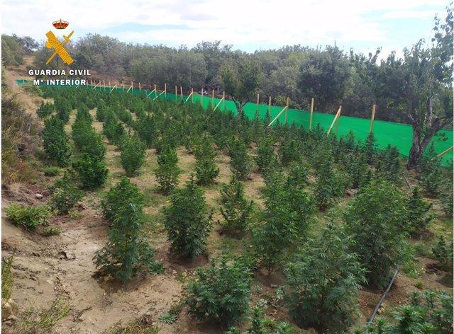 Macroplantación de marihauana en Jarandilla de la Vera