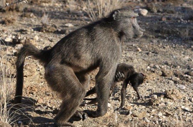 Hembra de primate acarrea un bebé muerto