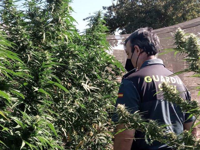 Un agente junto a las plantas de marihuana.