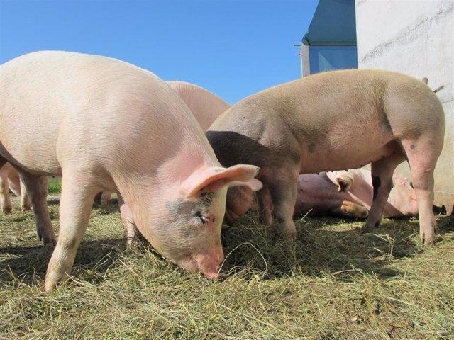 Archivo - Cerdos, sector porcino, JARC