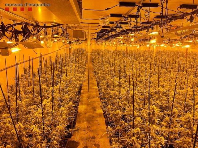 Imatge de les 2.700 plantes de marihuana en una nau industrial a Abrera (Barcelona)