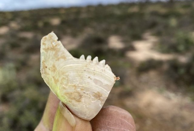 Artefacto de concha dentada de la estación Calperum en la región de Riverland de Australia Meridional.