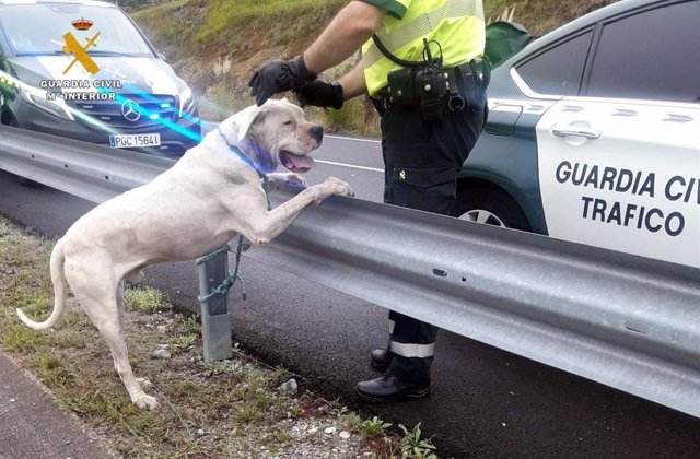El dogo argentino capturado en Pomaluengo