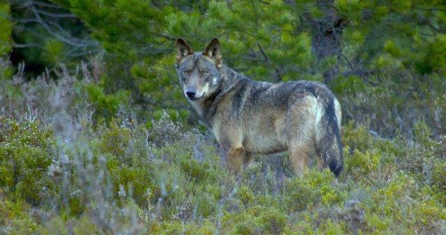 Un lobo avistado en la Sierra de la Culebra