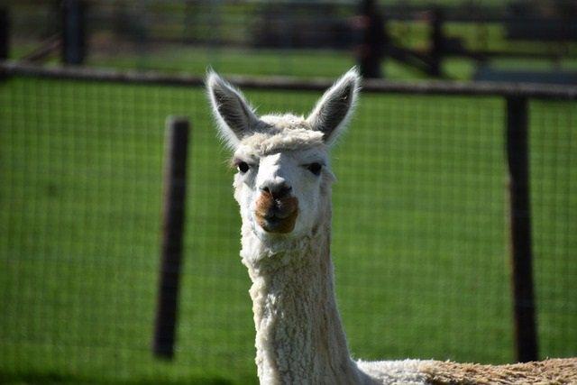 Archivo - Llama, animal.