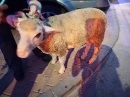 Imagen de la oveja interceptada en el maletero