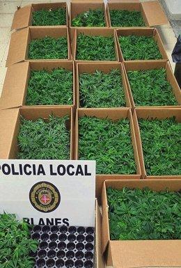 Imatge dels 1.000 esqueixos trobats a Blanes (Girona)