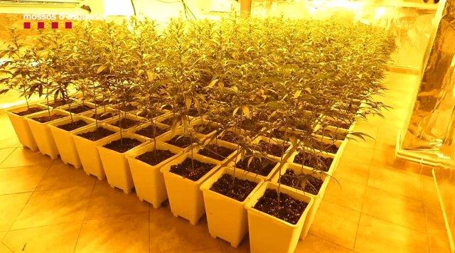 Imatge de les 900 plantes de marihuana en una casa de Llagostera (Girona)