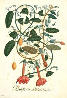 Dibujo a gran folio de Mutis Passiflora adulterina, realizado por el científico José Celestino Mutis durante la Real Expedición Botánica al Reino de Granada en el siglo XVIII que exhibe el Real Jardín Botánico de Madrid.