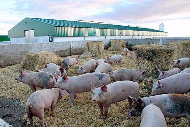Archivo - Arxiu - Imatge de recurs d'una granja amb porcs