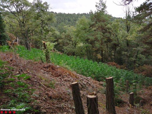 Imatge de la plantació