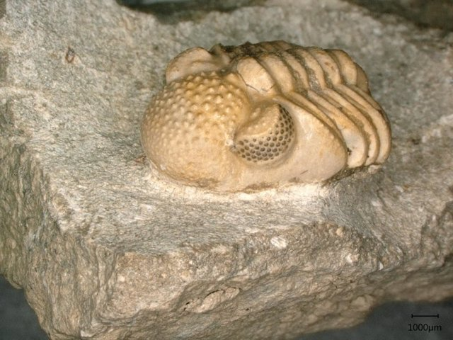 Phacops geesops, un trilobite del Devónico. Los ojos del animal constan de 200 lentes individuales cada uno, que abarcan seis pequeñas facetas, que nuevamente forman un ojo cada una.