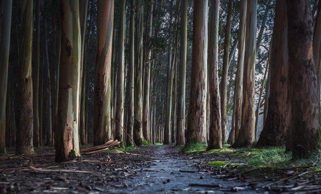 Archivo - Arboles de eucaliptos