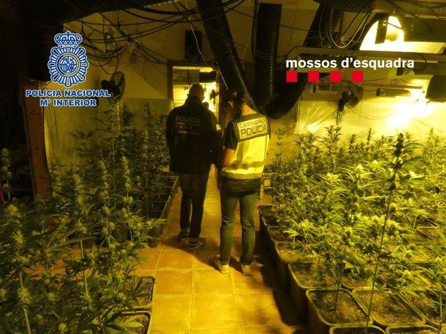 Desmantelada una plantación de marihuana en Mediona  (Barcelona)