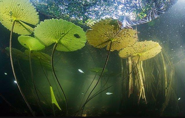 La vida acuática del río San Pedro Mártir en Tabasco, México, encuentra refugio en las raíces sumergidas de los manglares rojos.