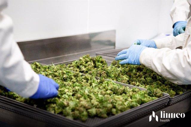 Archivo - Fabricación de cannabis medicinal