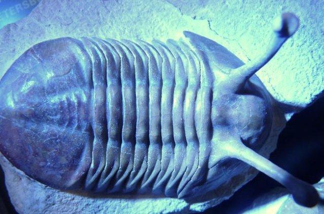 Un fósil de trilobites del período Ordovícico, que duró desde hace unos 485 a 443 millones de años.