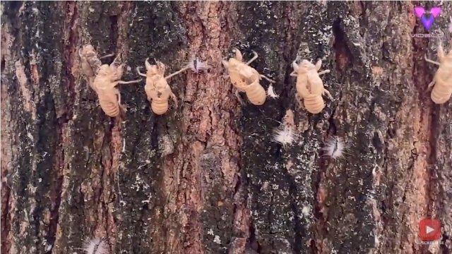 Un gran número de exoesqueletos de cigarra pegados a un árbol llamó la atención de un transeúnte en un parque de Italia