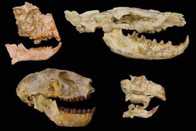 Los fósiles de los grupos clave utilizados para revelar la extinción del Eoceno-Oligoceno en África con primates a la izquierda, el carnívoro hyaenodont, arriba a la derecha, roedor, abajo a la derecha. Estos fósiles son de la depresión de Fayum en Egipto