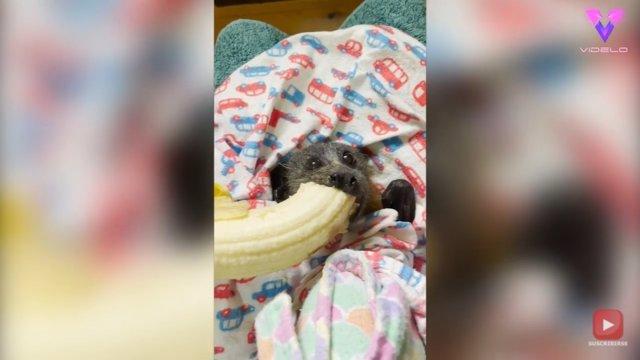 Un joven ejemplar de zorro volador se come un plátano después de ser rescatado