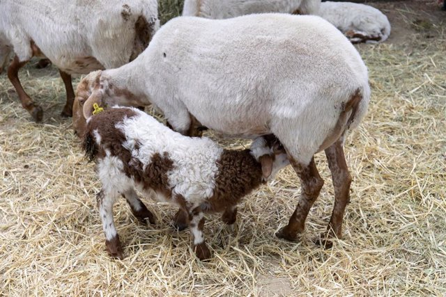 Archivo - Un cordero y una oveja, durante una muestra de ganado.