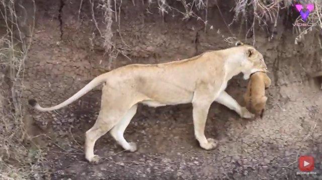 ¡Mamá Al Rescate!: Este Es El Momento En Que Una Leona Rescata A Su Cachorro Atrapado En Un Abrevadero De Kenia